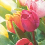 tulips melodies